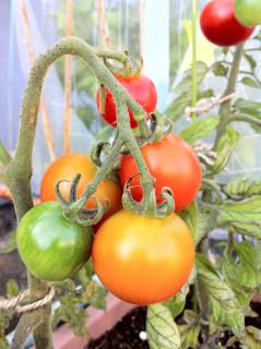 Tomato5